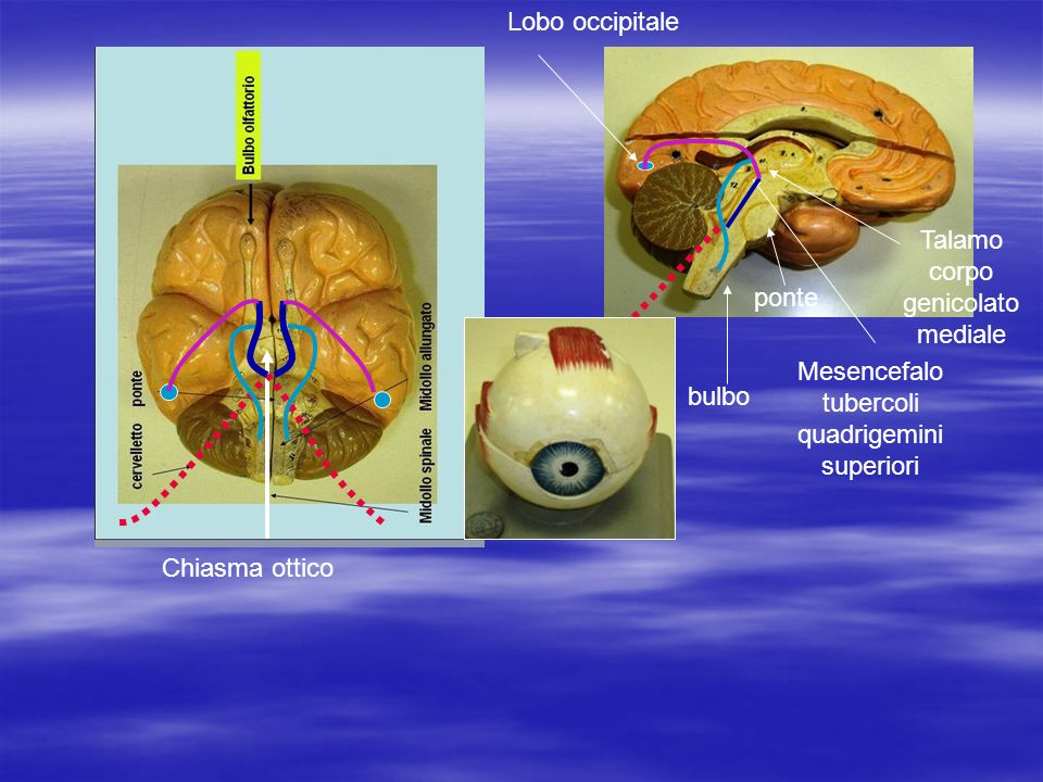 Chiasma ottico Lobo occipitale Talamo corpo genicolato mediale Mesencefalo tubercoli quadrigemini superiori ponte bulbo