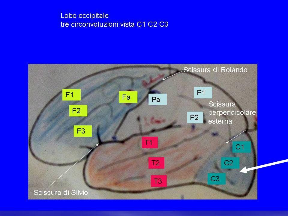 visione e trasmissione impulso nervoso struttura della retina e dei fotorecettori la retina comprende vari strati di cellule: in particolare consideriamo: cellule fotorecettrici(coni e bastoncelli): catturano i fotoni cellule bipolari: trasmettono impulso da fotorecettori a cellule gangliari cellule gangliari: trasmettono impulso a corteccia cerebrale cellule orizzontali: collaborano con le precedenti cellule amacrine: collaborano con le precedenti