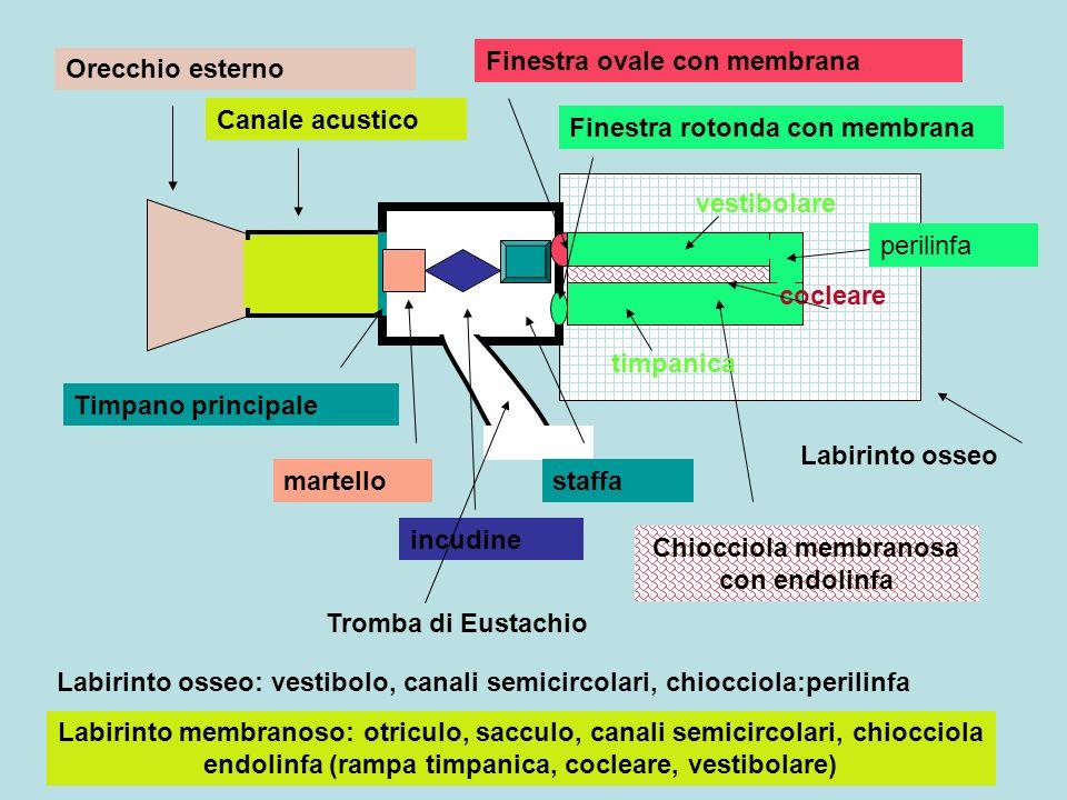 Orecchio esterno Canale acustico Timpano principale martello incudine staffa Tromba di Eustachio Finestra ovale con membrana Finestra rotonda con memb