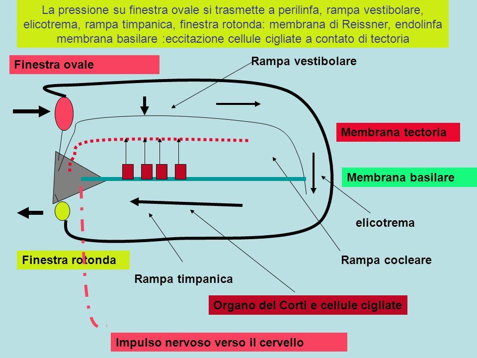 Membrana basilare Membrana tectoria Rampa vestibolare Rampa timpanica Finestra ovale Finestra rotondaRampa cocleare Organo del Corti e cellule cigliat