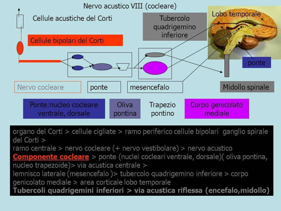 Nervo acustico VIII (vestibolare) ganglio sensitivo del Corti (ramo cocleare)> nervo acustico ganglio sensitivo dello Scarpa (ramo vestibolare) > nervo acustico Cellule sensitive di macule e creste acustiche nervo vestibolare > pavimento IV ventricolo > vie vestibolari centrali :via vestibolo-cerebellare > cellule di Purkinje via vestibolo-spinale :midollo spinale vestibolo-mesencefalo (nuclei motori globi oculari) Ganglio del Corti Ganglio dello Scarpa Nervo cocleare Nervo vestibolare Nervo acustico vestibolo ampolle Pavimento IV ventricolo Nuclei vestibolari cervelletto mesencefalo Midollo spinale Cellule sensitive Scarpa Midollo spinale IV ventricolo cervelletto mesencefalo