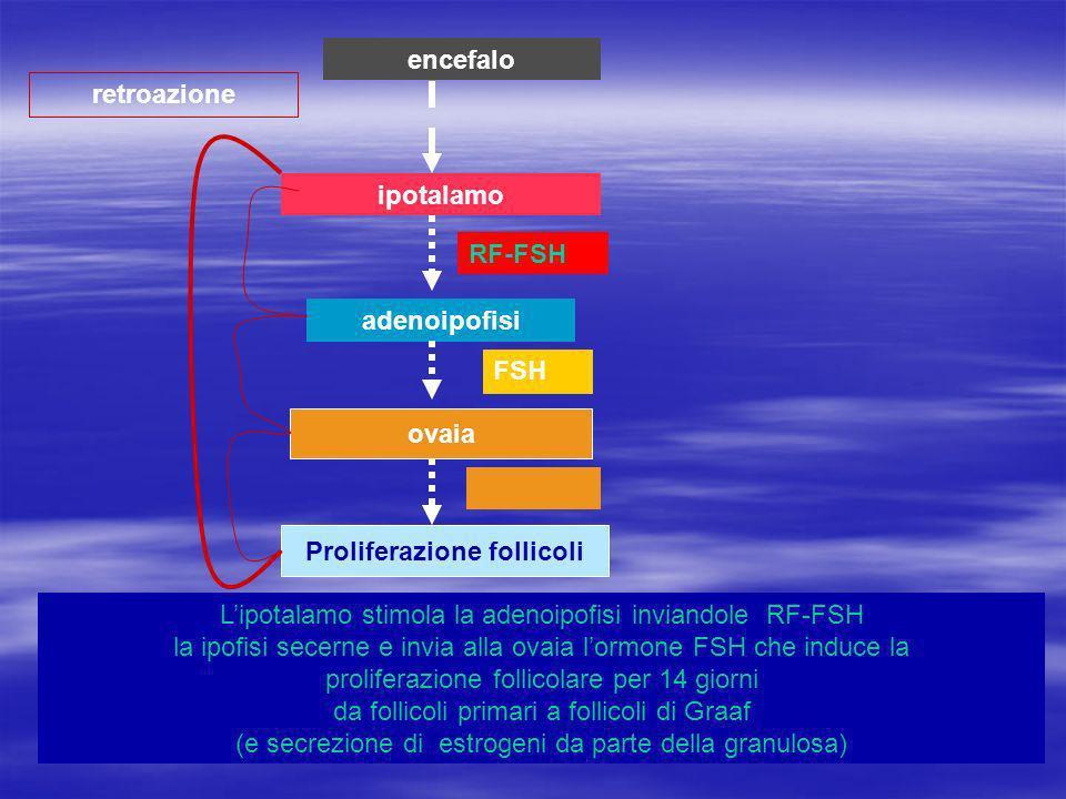 ipotalamo adenoipofisi ovaia Proliferazione follicoli retroazione encefalo Lipotalamo stimola la adenoipofisi inviandole RF-FSH la ipofisi secerne e invia alla ovaia lormone FSH che induce la proliferazione follicolare per 14 giorni da follicoli primari a follicoli di Graaf (e secrezione di estrogeni da parte della granulosa) RF-FSH FSH