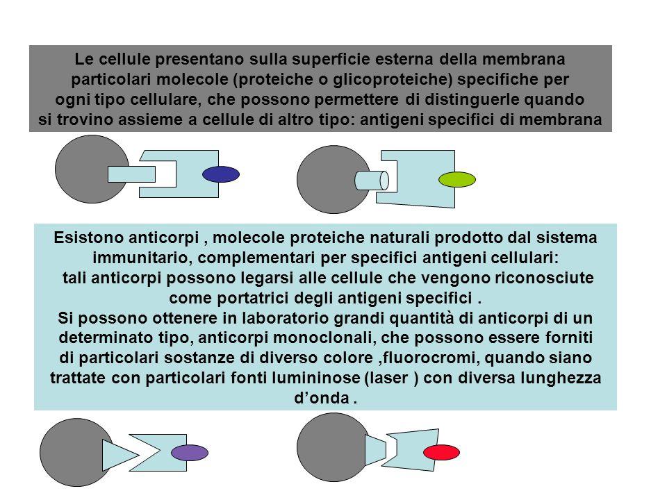 Cellule con antigene, molecola proteica o glicoproteica, su membrana cellulare, riconoscibile da molecola di anticorpo specifica, complementare ( fornita di sostanza colorata, fluorocromi, di vario colore) Anticorpo con fluorocromo rosso Anticorpo con fluorocromo viola Anticorpo con fluorocromo blu Anticorpo con fluorocromo verde