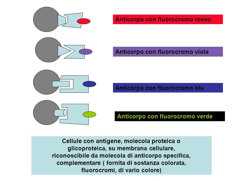 Trattando una popolazione cellulare formata da vari tipi di cellule con anticorpi monoclonali forniti di fluorocromi si ottiene un insieme di cellule riconoscibili per la colorazione indotta dallanticorpo collegatosi: uno strumento, citofluorimetro, permette rapidamente di contare e separare i diversi tipi cellulari in funzione della colorazione assunta Cellule tumorali e cellule sane