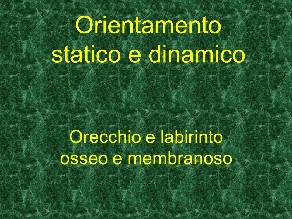 Orientamento statico e dinamico Orecchio e labirinto osseo e membranoso