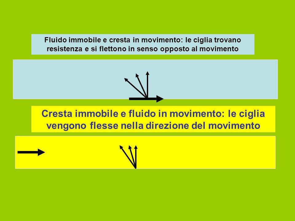 Fluido immobile e cresta in movimento: le ciglia trovano resistenza e si flettono in senso opposto al movimento Cresta immobile e fluido in movimento: