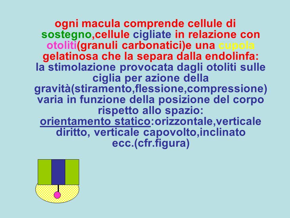ogni macula comprende cellule di sostegno,cellule cigliate in relazione con otoliti(granuli carbonatici)e una cupola gelatinosa che la separa dalla en