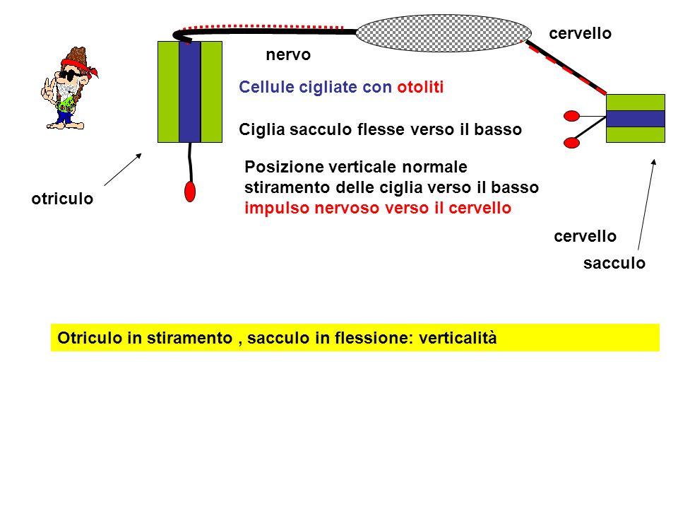 cervello nervo Cellule cigliate con otoliti Posizione verticale normale stiramento delle ciglia verso il basso impulso nervoso verso il cervello cerve