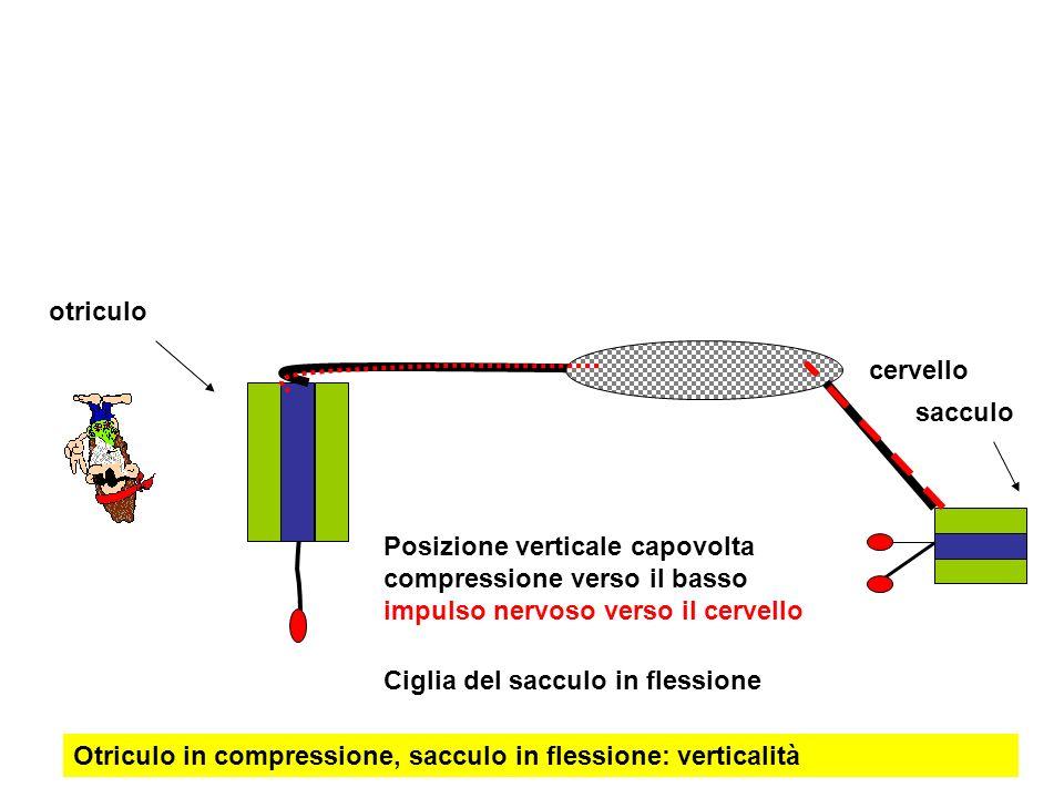 Posizione verticale capovolta compressione verso il basso impulso nervoso verso il cervello cervello otriculo sacculo Ciglia del sacculo in flessione