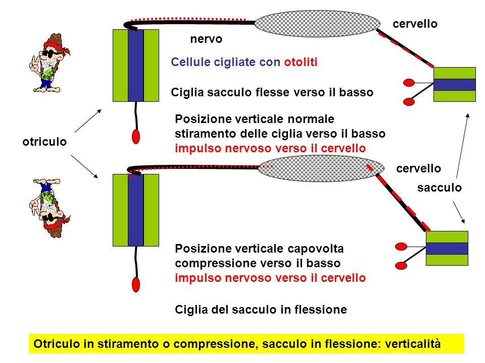 cervello nervo Cellule cigliate con otoliti Posizione verticale normale stiramento delle ciglia verso il basso impulso nervoso verso il cervello Posiz