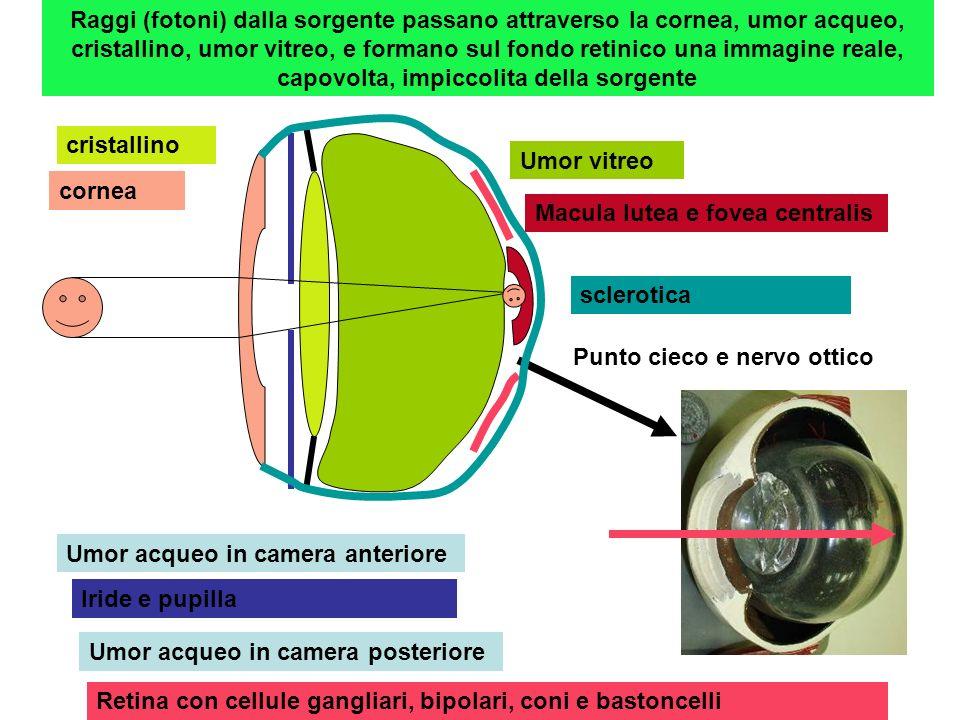 Raggi (fotoni) dalla sorgente passano attraverso la cornea, umor acqueo, cristallino, umor vitreo, e formano sul fondo retinico una immagine reale, ca