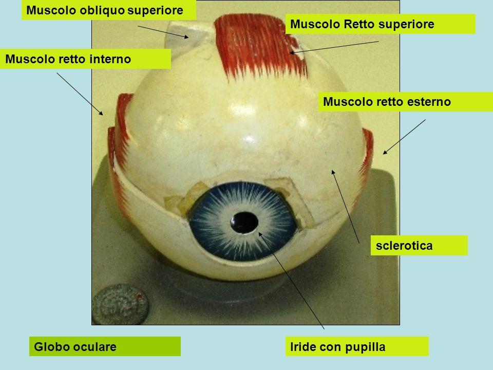 Muscolo Retto superiore Muscolo retto interno Muscolo retto esterno Muscolo obliquo superiore Iride con pupilla sclerotica Globo oculare