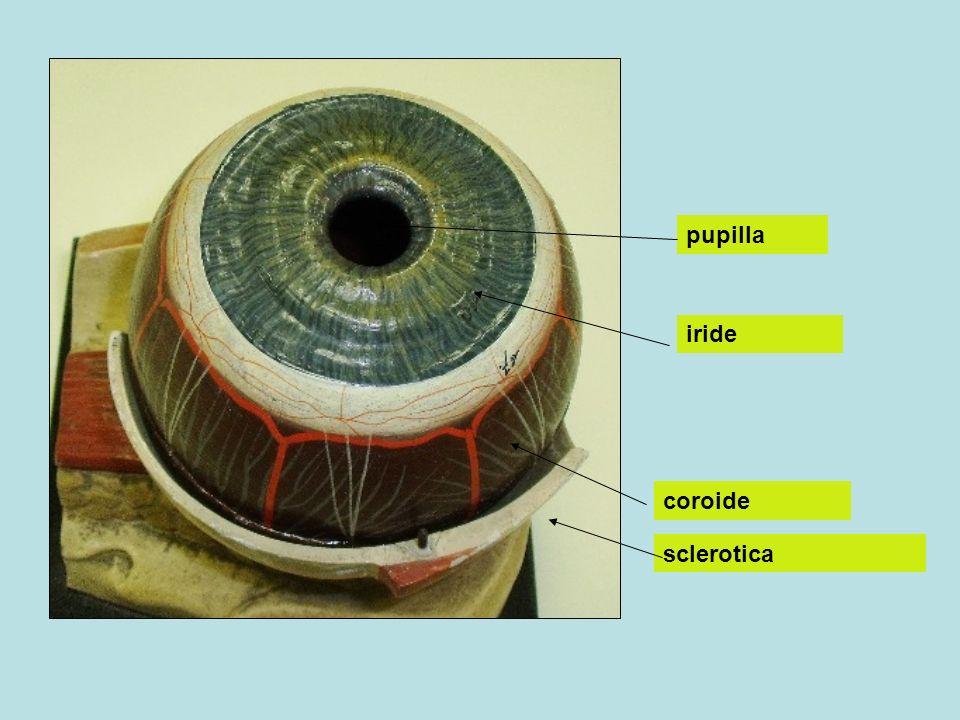 Lo strato fotosensibile (coni, in macula lutea, fovea centralis) e bastoncelli, trasformano limpulso luminoso in reazioni chimiche (partecipazione di opsina, retinene) e generano un messaggio elettrico (potenziale di azione) che atraverso le cellule bipolari e gangliari viene inviato al nervo ottico e ai lobi occipitali dellencefalo coni Cellule bipolari Cellule gangliari Nervo ottico Fovea centralis Lobo occipitale
