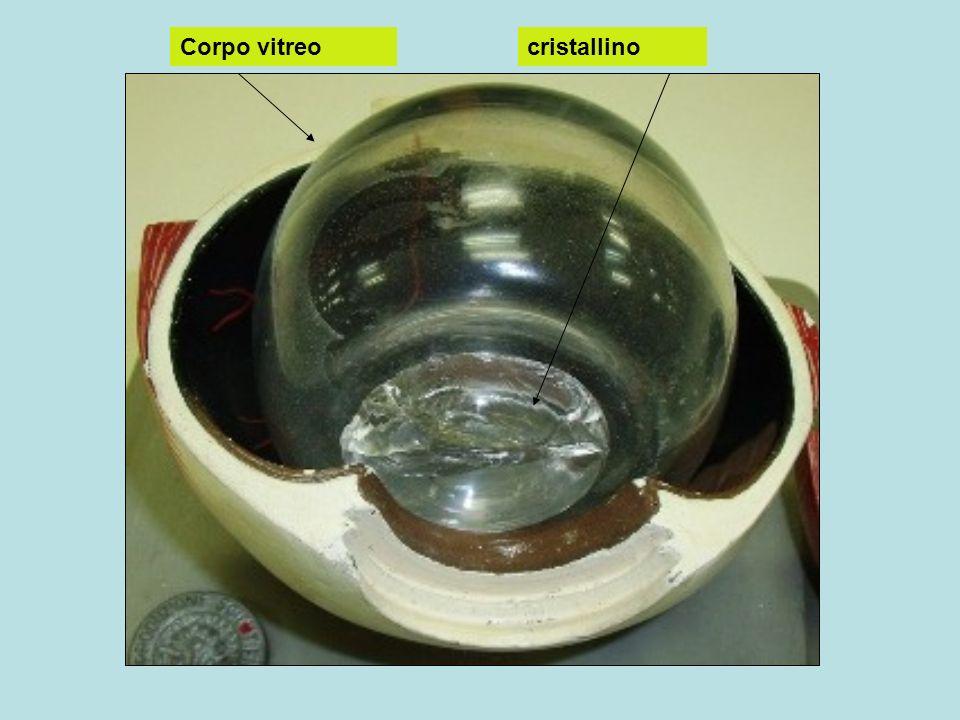 Corpo vitreo cristallino Iride e pupilla coroide Nervo ottico Punto cieco sclerotica
