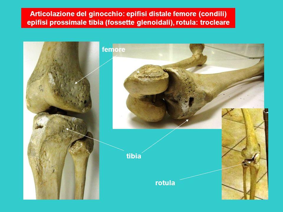 Articolazione del ginocchio: epifisi distale femore (condili) epifisi prossimale tibia (fossette glenoidali), rotula: trocleare femore tibia rotula