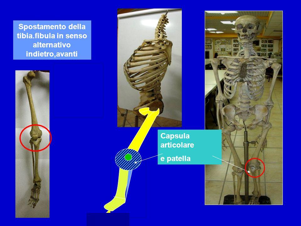 Spostamento della tibia.fibula in senso alternativo indietro,avanti Capsula articolare e patella