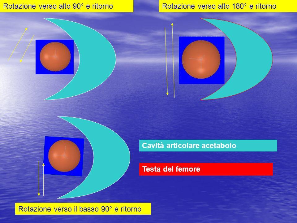 Rotazione verso alto 90° e ritornoRotazione verso alto 180° e ritorno Rotazione verso il basso 90° e ritorno Cavità articolare acetabolo Testa del fem