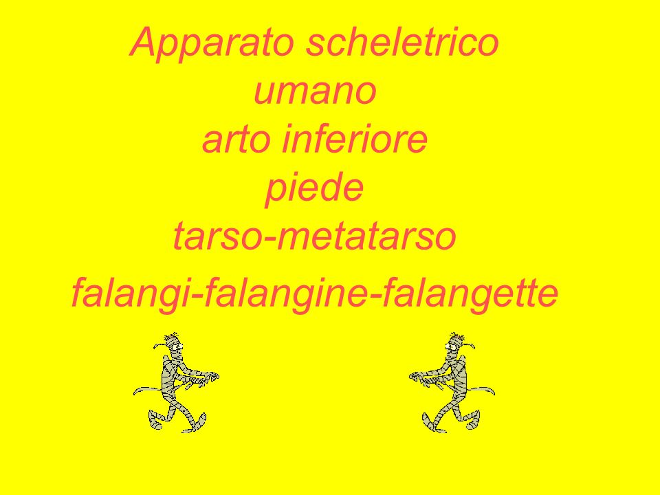 Apparato scheletrico umano arto inferiore piede tarso-metatarso falangi-falangine-falangette