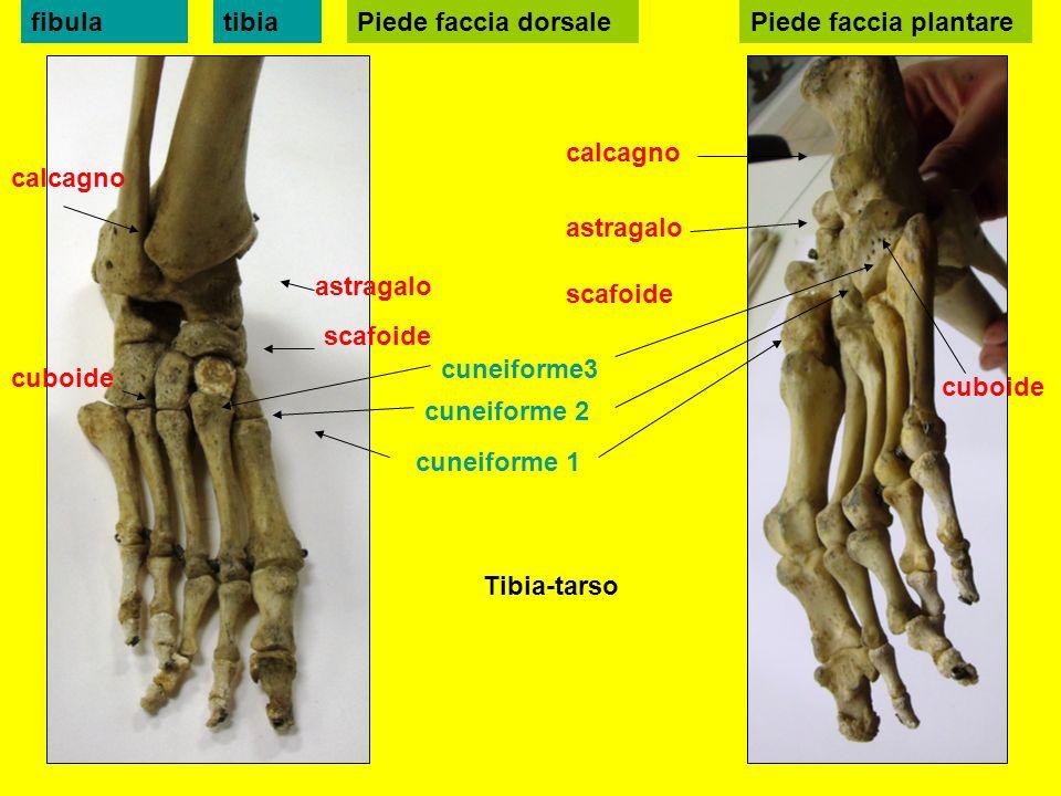 Piede faccia dorsale calcagno astragalo cuboide scafoide cuneiforme 1 cuneiforme 2 cuneiforme3 tibiafibulaPiede faccia plantare calcagno astragalo cuboide scafoide Tibia-tarso