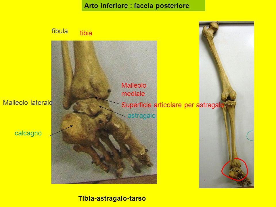 Arto inferiore : faccia posteriore tibia fibula Malleolo mediale Malleolo laterale astragalo calcagno Superficie articolare per astragalo Tibia-astragalo-tarso