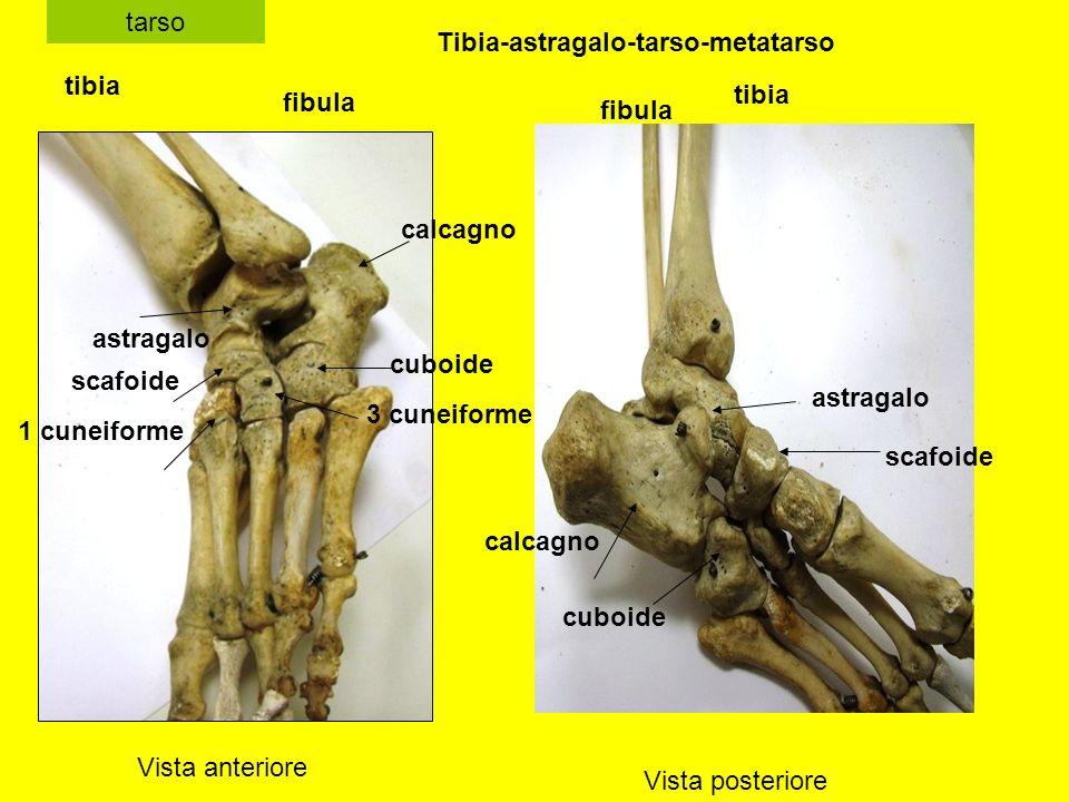 tarso Vista anteriore Vista posteriore tibia fibula astragalo cuboide scafoide 1 cuneiforme 3 cuneiforme calcagno tibia fibula calcagno astragalo scafoide cuboide Tibia-astragalo-tarso-metatarso