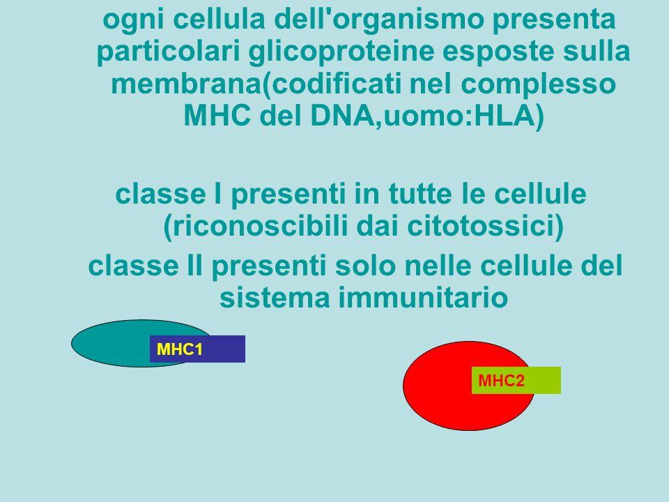 ogni cellula dell'organismo presenta particolari glicoproteine esposte sulla membrana(codificati nel complesso MHC del DNA,uomo:HLA) classe I presenti