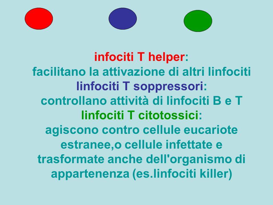 infociti T helper: facilitano la attivazione di altri linfociti linfociti T soppressori: controllano attività di linfociti B e T linfociti T citotossi