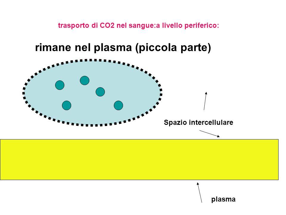 entra negli eritrociti si lega alla Hb formando HbCO2 (piccola parte) trasporto di CO2 nel sangue:a livello periferico: Il legame con Hb favorisce la liberazione di ossigeno che migra nelle cellule