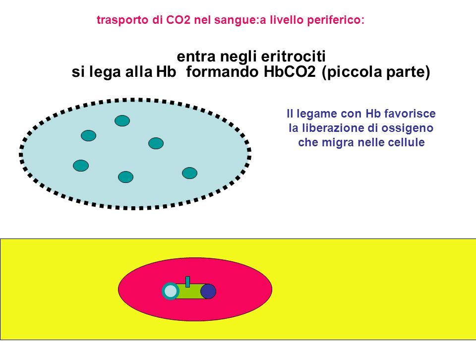 entra negli eritrociti:maggior parte reagisce con acqua originando H2CO3 che si dissocia:H+ che si lega a Hb e HCO3 che migra nel plasma CO2 + H2O -- anidrasi carbonica--> H2CO3 ----> HCO3- + H+ H+ + Hb ---> HbH+ emoglobina ridotta HCO3- migra nel plasma