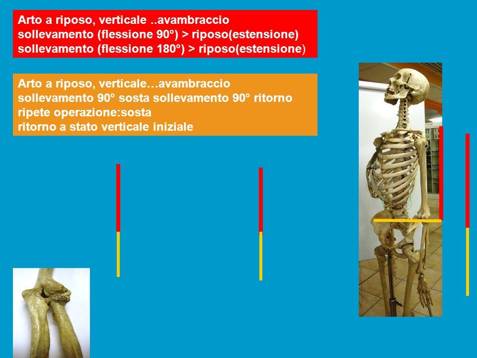 Arto a riposo, verticale..avambraccio sollevamento (flessione 90°) > riposo(estensione) sollevamento (flessione 180°) > riposo(estensione) Arto a ripo