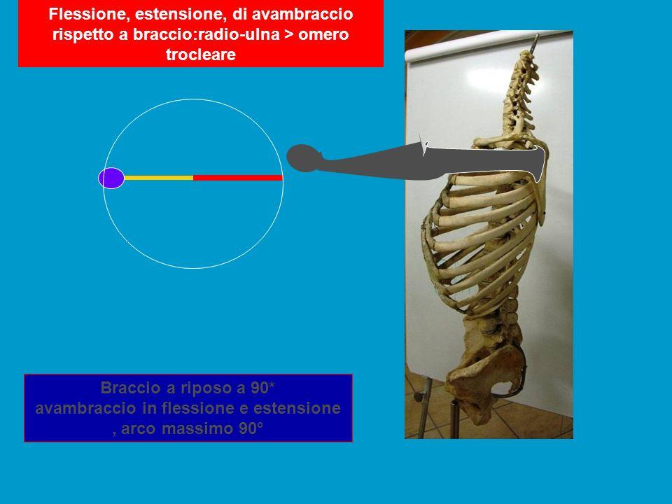 Flessione, estensione, di avambraccio rispetto a braccio:radio-ulna > omero trocleare Braccio a riposo a 90* avambraccio in flessione e estensione, ar
