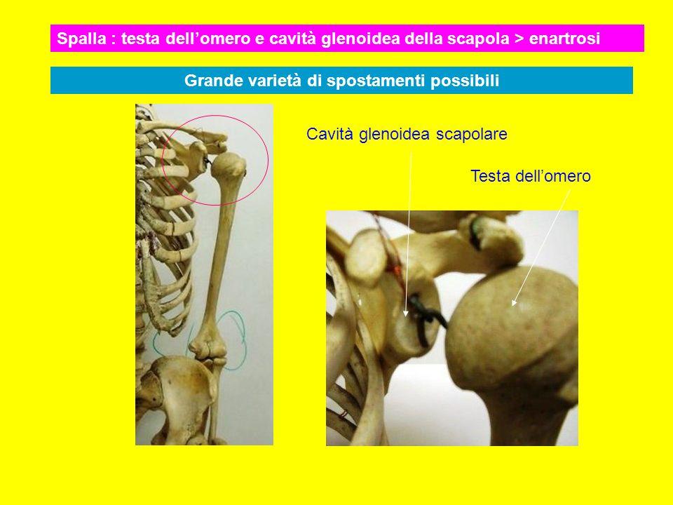 Troclea omerale Olecrano e incisura sigmoidea ulnare La troclea risulta inserita nella incisura sigmoidea : lulna puo ruotare attorno alla troclea (come in una puleggia)
