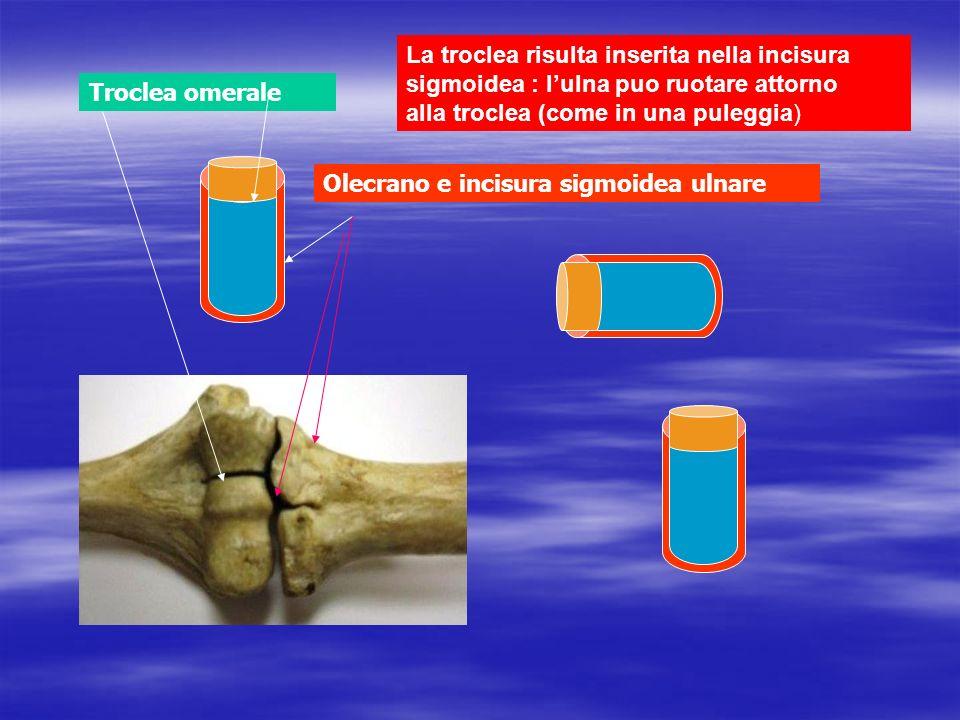 Troclea omerale Olecrano e incisura sigmoidea ulnare La troclea risulta inserita nella incisura sigmoidea : lulna puo ruotare attorno alla troclea (co