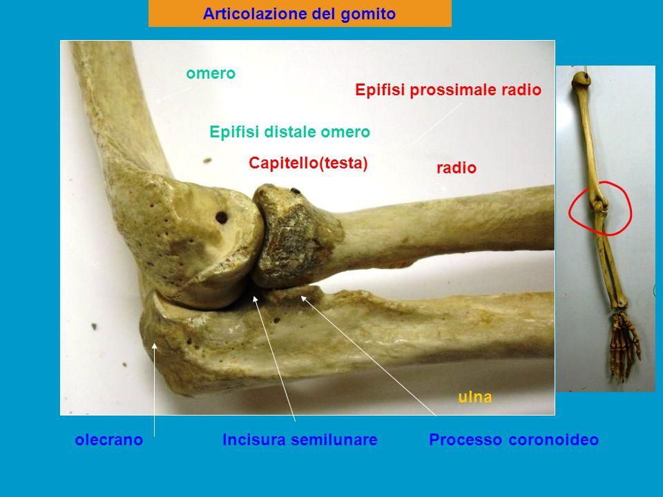 Articolazione omero > radio :condiloidea omero > ulna :trocleare omero troclea condilo radio ulna olecrano Incisura sigmoidea Fossetta glenoidea condilo Fossetta glenoidea
