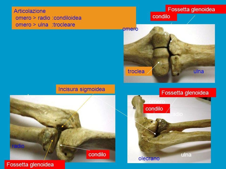 Arto superiore: articolazione del gomito omero (troclea) > ulna (olecrano, incisura sigmoidea) Condilo epifisi distale omero Olecrano, incisura sigmoidea di ulna