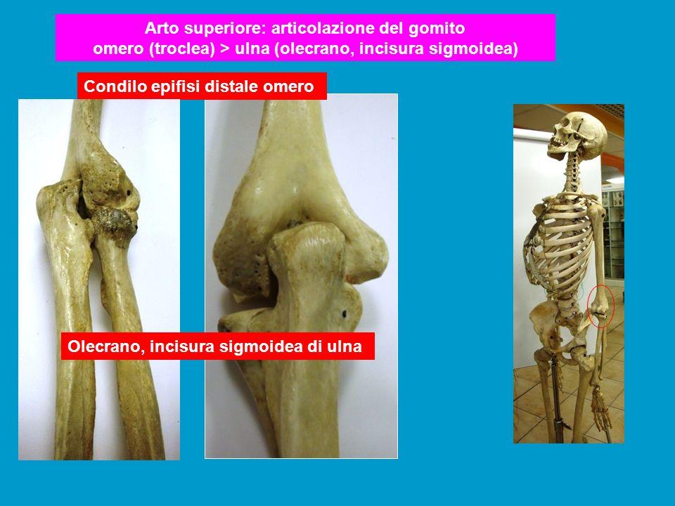 Arto superiore: articolazione del gomito omero (troclea) > ulna (olecrano, incisura sigmoidea) Condilo epifisi distale omero Olecrano, incisura sigmoi