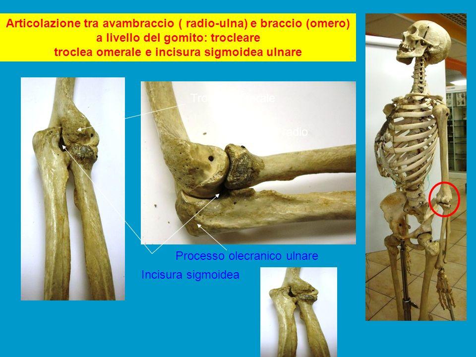 Articolazione tra avambraccio ( radio-ulna) e braccio (omero) a livello del gomito: trocleare troclea omerale e incisura sigmoidea ulnare Troclea omer