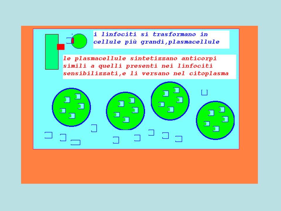 Linfociti B attivati si trasformano in plasmacellule che sintetizzano anticorpi specifici, immessi nel plasma