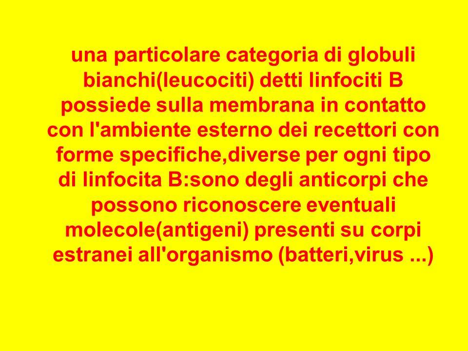 una particolare categoria di globuli bianchi(leucociti) detti linfociti B possiede sulla membrana in contatto con l'ambiente esterno dei recettori con