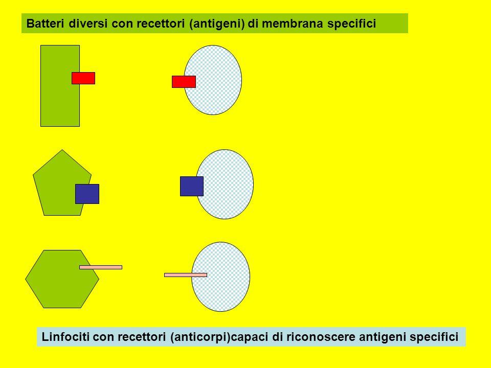 Batteri diversi con recettori (antigeni) di membrana specifici Linfociti con recettori (anticorpi)capaci di riconoscere antigeni specifici