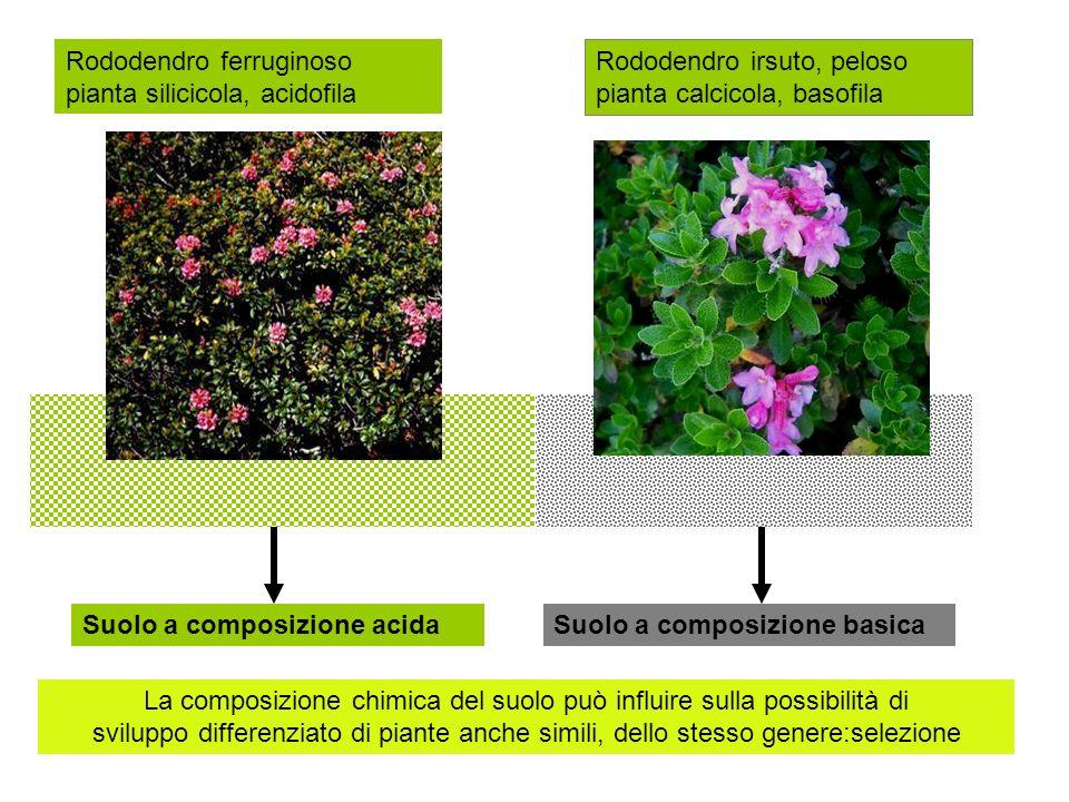 Suolo a composizione acidaSuolo a composizione basica La composizione chimica del suolo può influire sulla possibilità di sviluppo differenziato di piante anche simili, dello stesso genere:selezione Rododendro ferruginoso Rododendro irsuto, peloso Disseminazione e selezione crescita