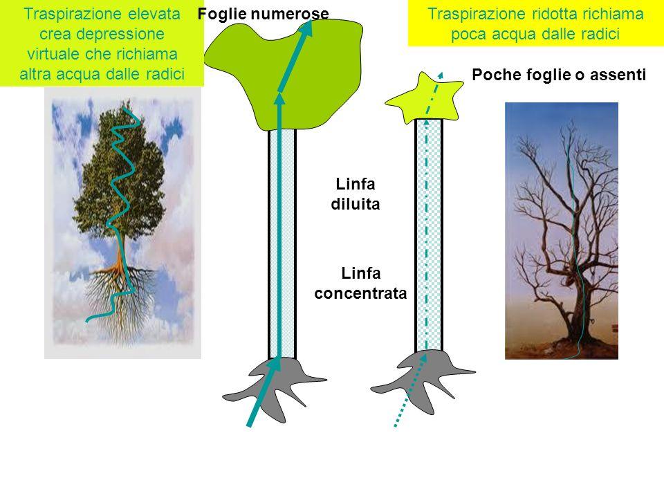 Traspirazione elevata crea depressione virtuale che richiama altra acqua dalle radici Traspirazione ridotta richiama poca acqua dalle radici Linfa dil