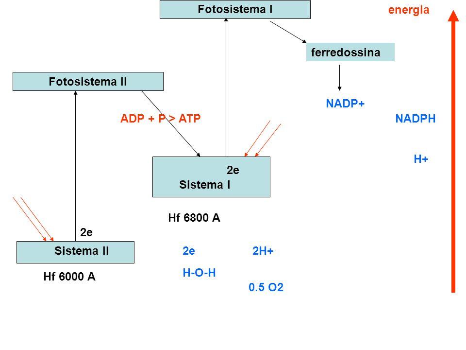Sistema II Sistema I Fotosistema II Fotosistema I ferredossina 2e ADP + P > ATP NADPH NADP+ 2e H-O-H 2H+ 0.5 O2 Hf 6800 A Hf 6000 A H+ 2e energia