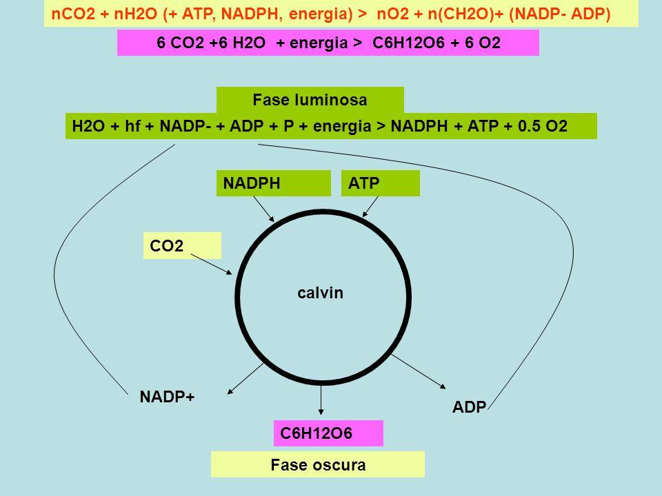 nCO2 + nH2O (+ ATP, NADPH, energia) > nO2 + n(CH2O)+ (NADP- ADP) 6 CO2 +6 H2O + energia > C6H12O6 + 6 O2 CO2 NADPH C6H12O6 ATP H2O + hf + NADP- + ADP