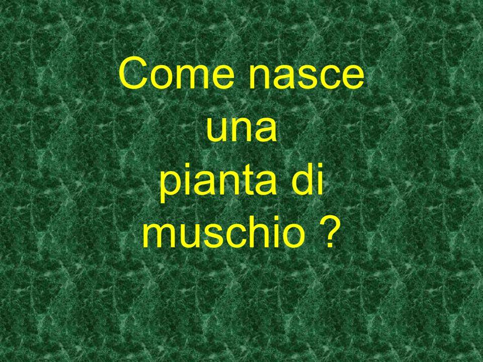 Come nasce una pianta di muschio ?