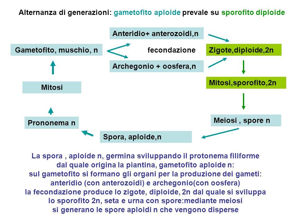 Spora, aploide,n Prononema n Anteridio+ anterozoidi,n Archegonio + oosfera,n Zigote,diploide,2nGametofito, muschio, n Mitosi fecondazione Mitosi,sporo