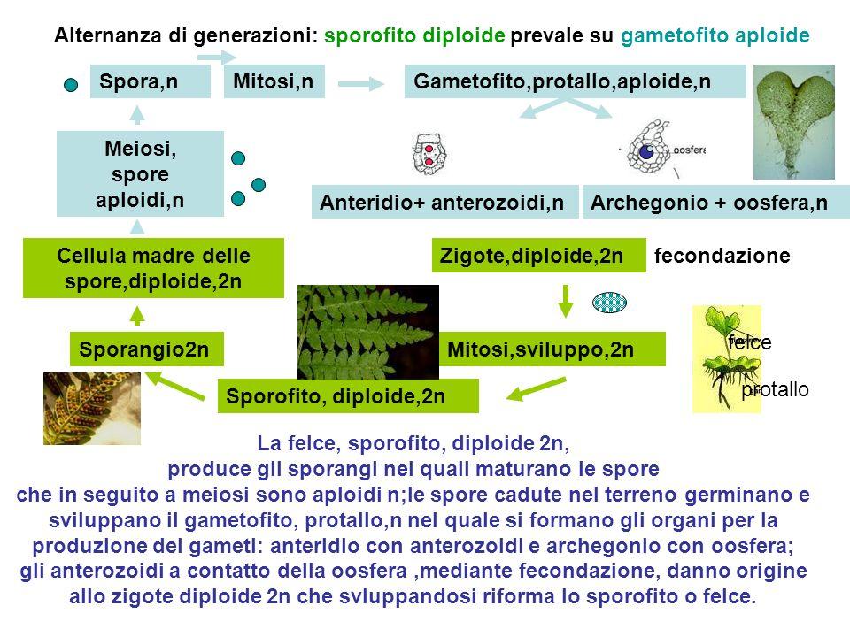 Spora,n Sporofito, diploide,2n Sporangio2n Gametofito,protallo,aploide,n Anteridio+ anterozoidi,nArchegonio + oosfera,n Zigote,diploide,2nCellula madr