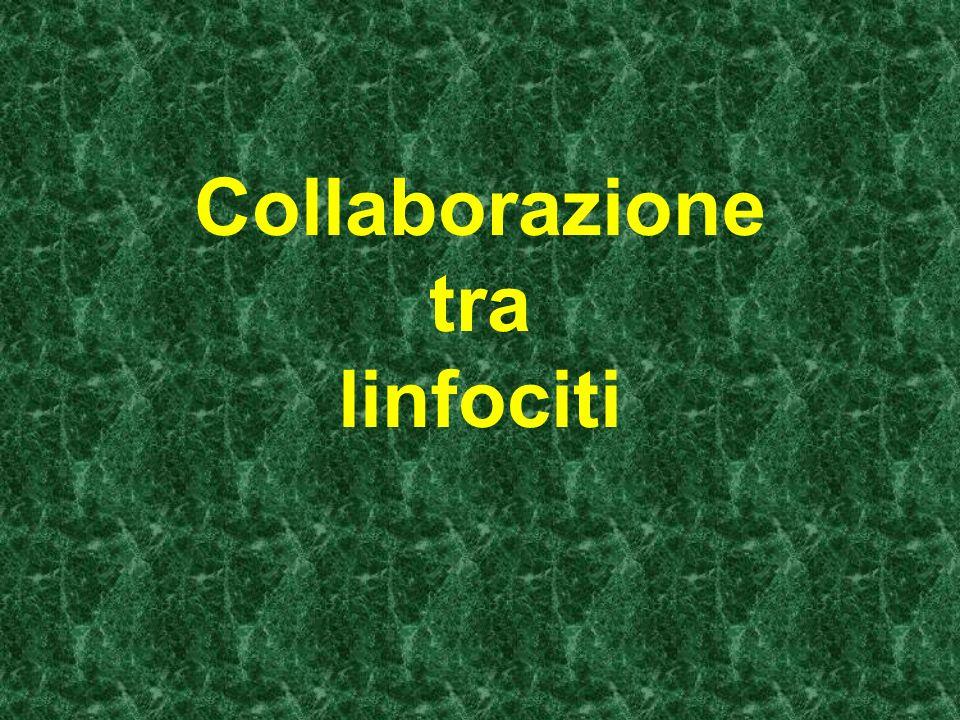 i linfociti B possono entrare in proliferazione se si verificano due condizioni: 1-un antigene sensibilizza linfociti B portatori dell anticorpo specifico e linfociti T helper portatori del recettore per lo stesso tipo di antigene