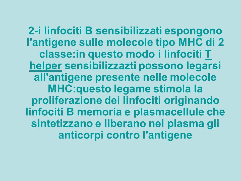 2-i linfociti B sensibilizzati espongono l antigene sulle molecole tipo MHC di 2 classe:in questo modo i linfociti T helper sensibilizzazti possono legarsi all antigene presente nelle molecole MHC:questo legame stimola la proliferazione dei linfociti originando linfociti B memoria e plasmacellule che sintetizzano e liberano nel plasma gli anticorpi contro l antigeneT helper