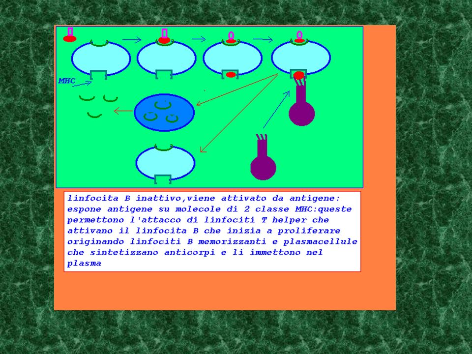 MHC2 Linfocita B con recettore per antigene, e molecole MHC2 Linfocita T helper con recettore per antigene e complesso MHC2-antigene Antigene sensibilizza linfocita B e linfocita T helper Linfocita B rielabora antigene ed espone in MHC2 Linfocita T helper si lega e sensibilizza linfocita B Linfocita B prolifera, origina linfociti memorizzanti e plasmacellule secernenti anticorpi immessi in circolazione memoria plasmacellule